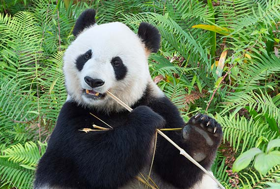 Encounter With Giant Pandas in Chengdu China